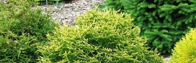 70 pezzi Thuja Smeraldo siepi Pianta inverno duro Albero Vita 30-40 cm in vaso