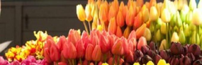 Jak Uratować Tulipany Po Cięciu Aby Nie Zanikły Tak Długo